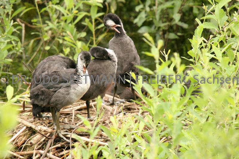IMG_3808_Blesshuhn-Nest