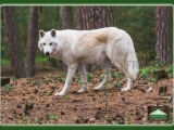 AK-Polarwolf