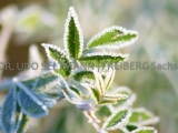 IMG_9386_Herbst-Eislaub_SLF
