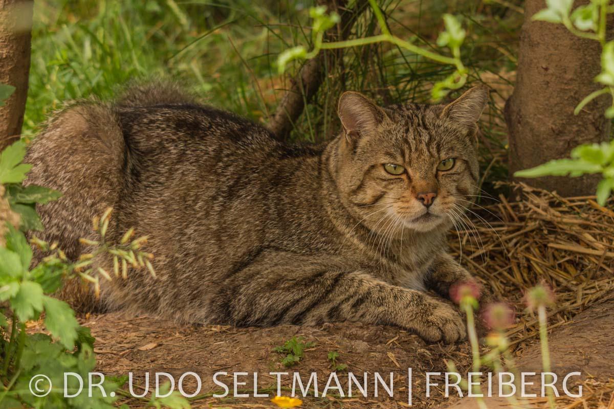 2013-07_Wildkatzen_B-2804