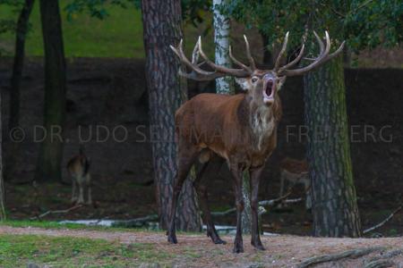 2014_Brunft-Rothirsch_8525