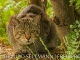 2013-07_Wildkatzen_B-2791