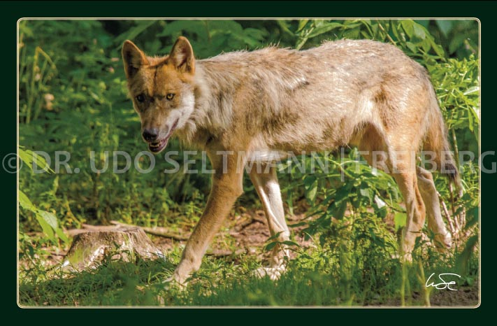 GK 222 Wolf (mit WissensEule)