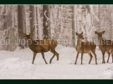 GK 207 Rotwild im Winter (mit WissensEule)